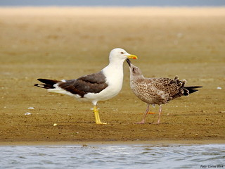 Lesser Black-backed Gull with young