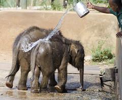 Orphan elephants getting a wash