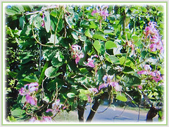 Free-flowering shrub of Bauhinia purpurea (Orchid Tree, Purple Bauhinia, Butterfly Tree, Hawaiian/Purple Orchid Tree, Camel's Foot Tree), 28 Oct 2017