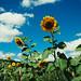 Pietraferrata - Sunflowers