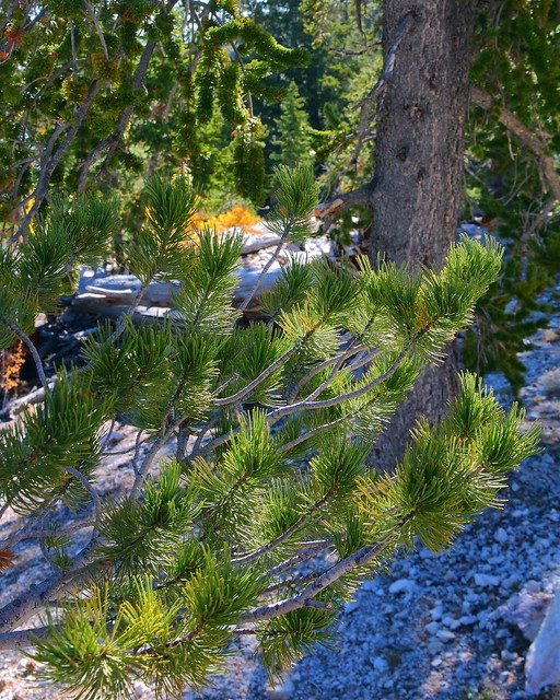 IMG_8070 Limber Pine and Great Basin Bristlecone Pine