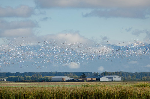 Snow Geese in the Skagit Delta-006