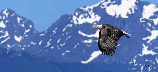 Amerian Eagle