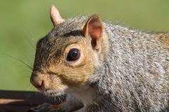 Gray Squirrel-3