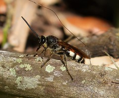 Double Banded Scholid Wasp. Scolia bicincta