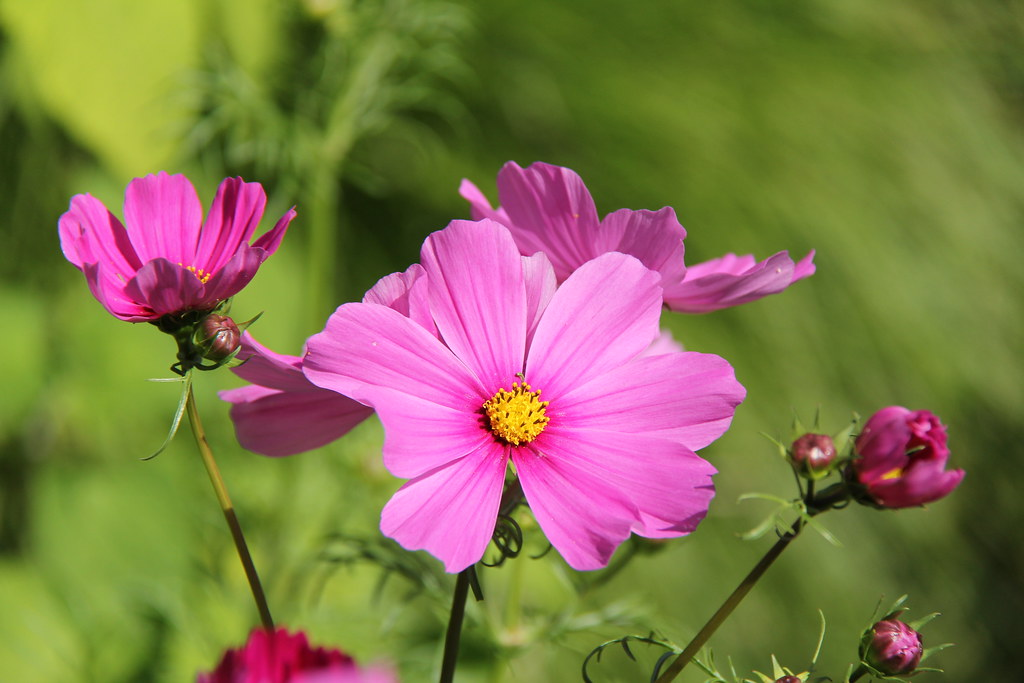 Beauty In Pink Cosmos Are Herbaceous Perennial Plants Or Flickr