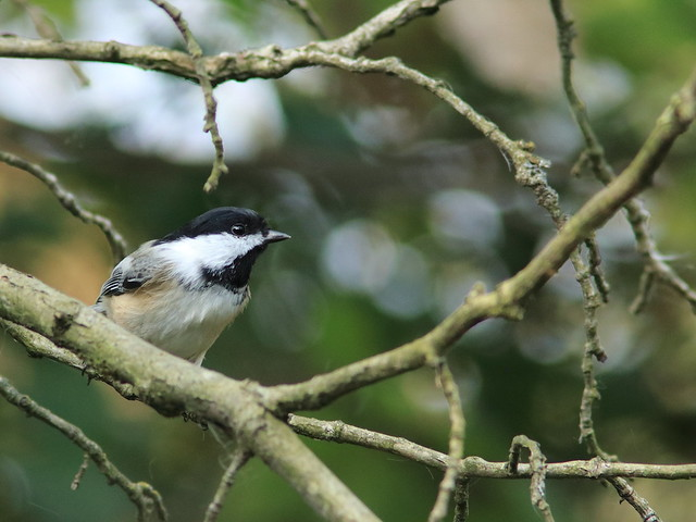 Black-capped Chickadee 01-20170926
