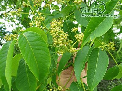 Lá và hoa cây Hoàng bá - dược liệu tiềm năng điều trị tiểu đường
