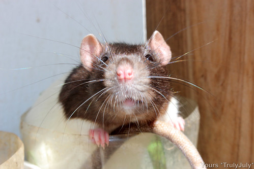 Rattie Harley looks so cute! Ready to be showered in kisses!