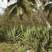 Small photo of Sisal (Agave americana) under Cocos nucifera