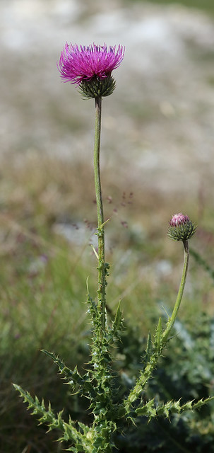 Header of Alpine Thistle