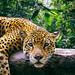 Jaguar Amazon Peru by amazon__beauty