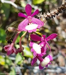 Epidendrum × purpureum