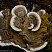 Bracket Fungus 1