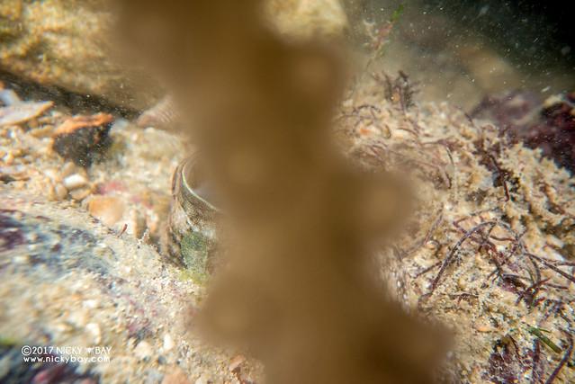 Reef octopus (Octopodidae) - DSC_6557