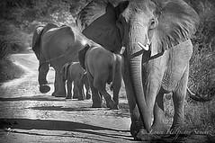 Big 5 - Elephants. Protecting  the herd