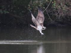 Osprey - Furnace Pond, Horsemonden 503
