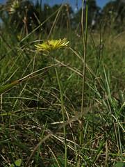 Hieracium macranthum