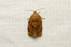 Ditula angustiorana (Red-barred Tortrix Moth) - Hodges # 3692.