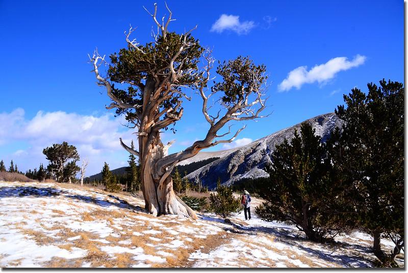 Bristlecone pine (11)