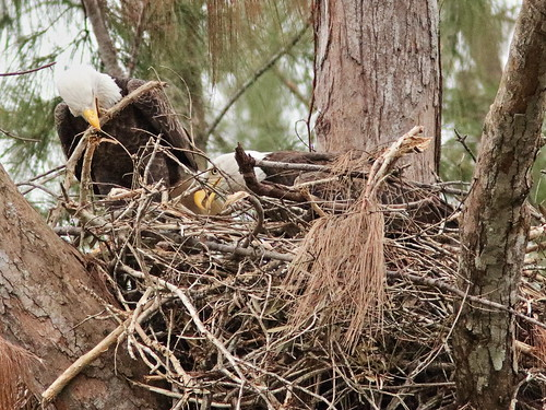 Bald Eagles work on nest 06-20171025