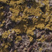 Small photo of Orange lichens on quartz conglomerate, Handa