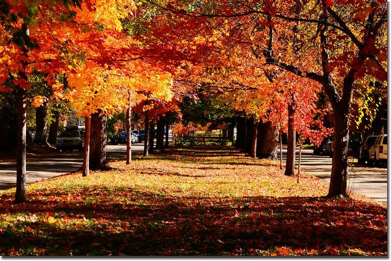 2017 Maple in Fall, Boulder, Colorado  (49)
