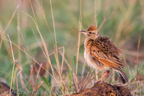 Unidentified lark