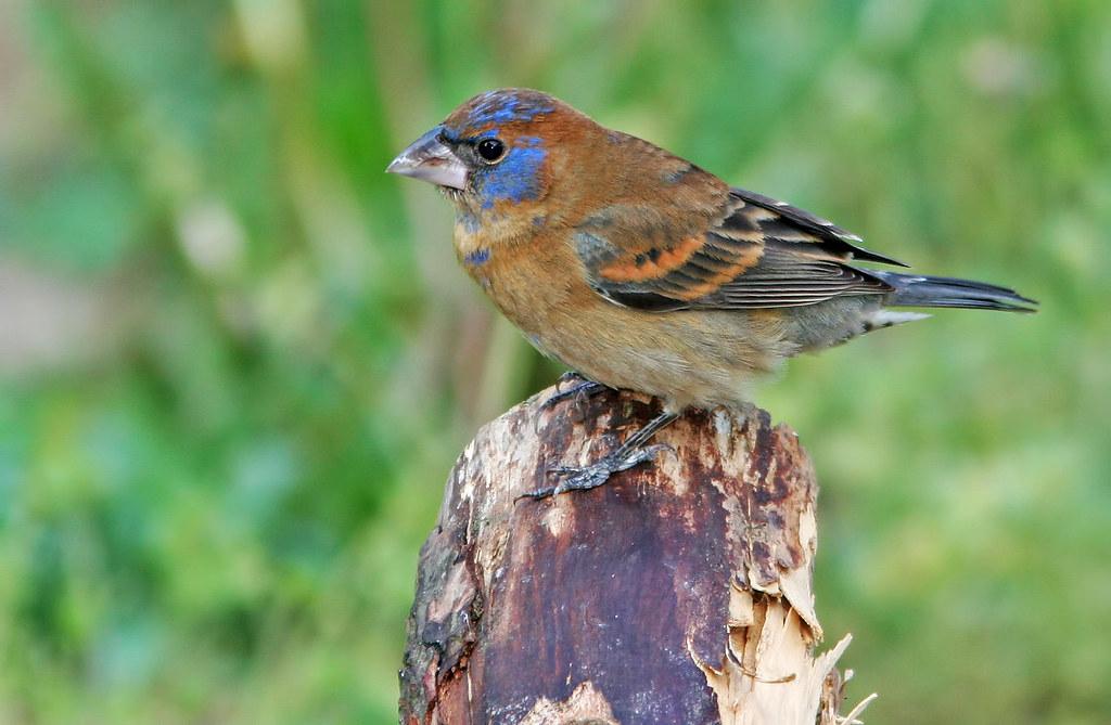 Blue-Grosbeak-_5688