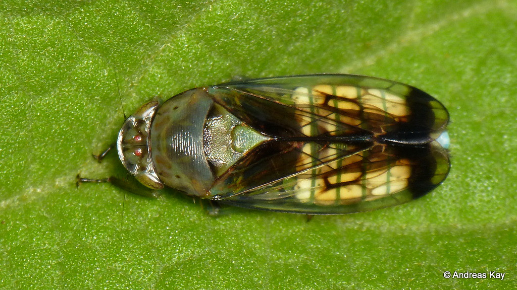 Leafhopper, Cicadellidae