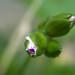Malvon - Pelargonium hortorum.