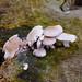 Poplar fieldcaps on a tree trunk