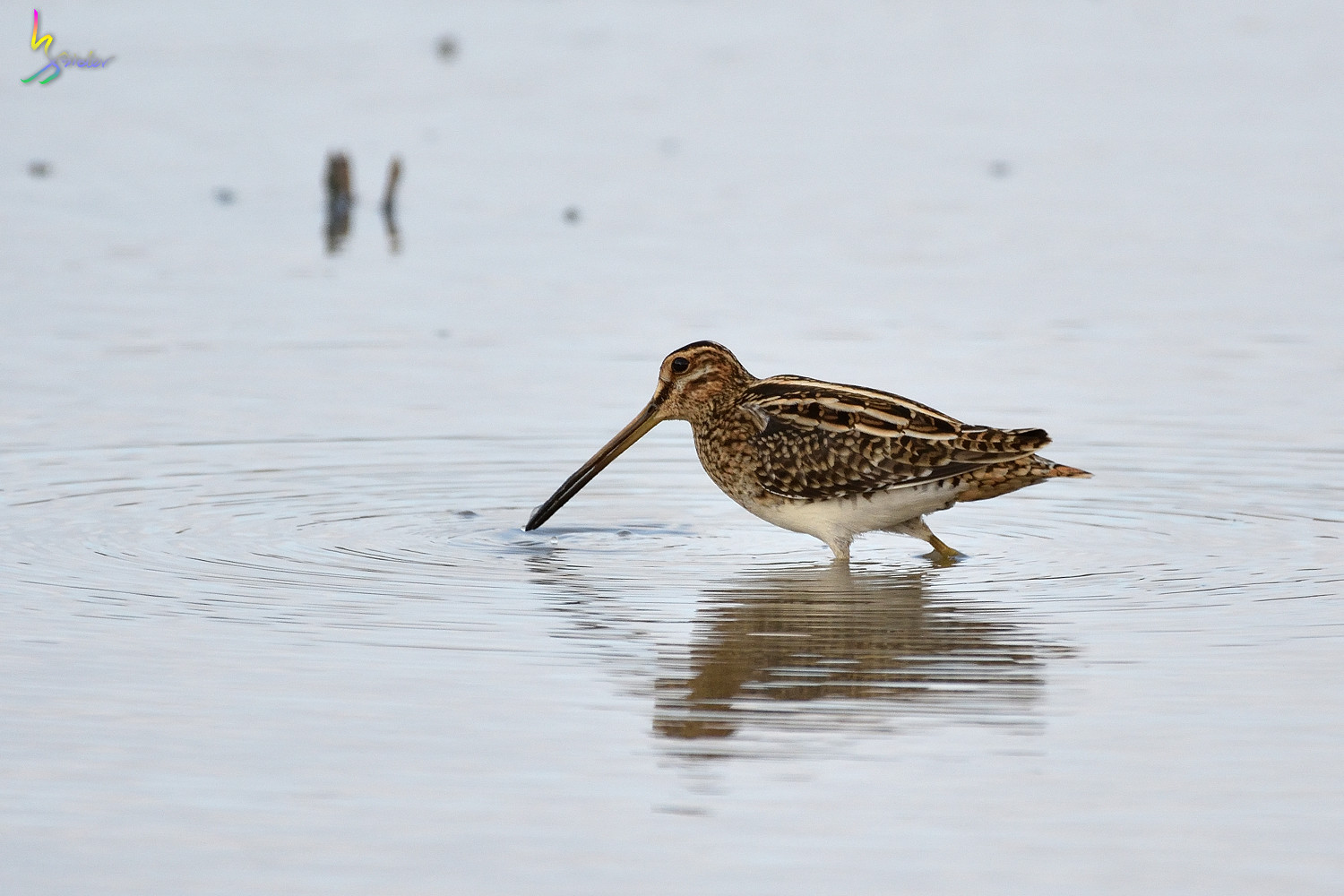 Common_Snipe_9802