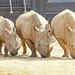 Trio of Rhino