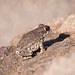 Red-spotted toad por apmckinlay