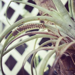 Someone laid eggs on my air plant...Mystery critter.