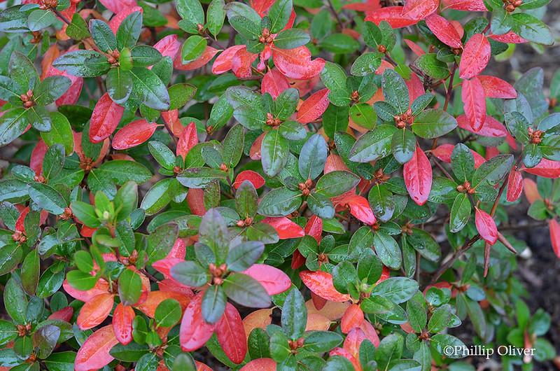 rhododendron-pjm