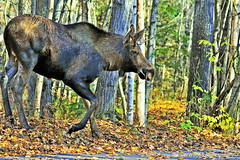 Young Bull Moose W_8299