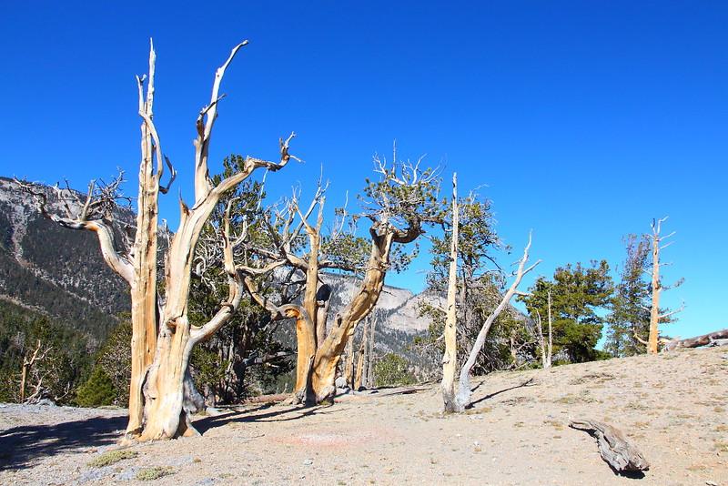 IMG_8091 Great Basin Bristlecone Pine