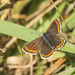 Butterfly - Brown Argus