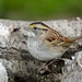 White-throated Sparrow-40594.jpg