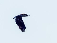 African Fish-Eagle/Haliaeethus vocifer, juv.