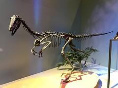 Velociraptor at Perot Museum