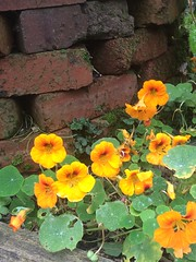 Nasturtiums at the plot