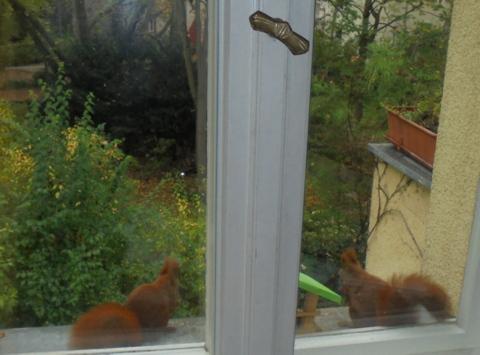 Gesellige Eichhörnchen