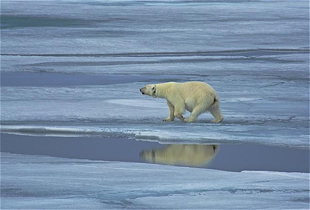 Polar Bear, Sea Ice,  Arctic Ocean, 81º 09.90' N, 17º 35.70'E, Svalbard