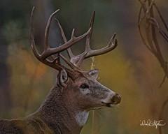 Big Buck After Sundown