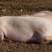 Dozing in the morning sun: pigs, Northycote Farm