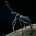 Curculionidae: Entiminae by Techuser