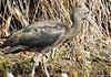 Íbis-preto // Glossy Ibis (Plegadis falcinellus) by Valter Jacinto | Portugal